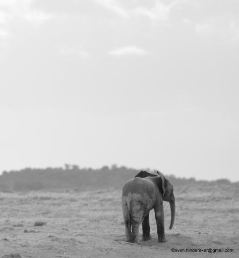 En ensom elefant!